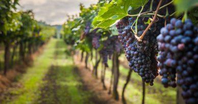 campaña de exportacion de uva peruana